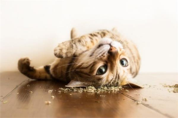貓草是什麼